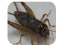 cricket exterminator services